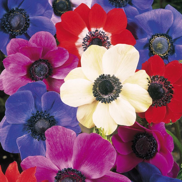 autumn bulbs anemone coronaria de caen bulbs mixed 15 pcs. Black Bedroom Furniture Sets. Home Design Ideas