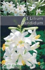 lilium-099